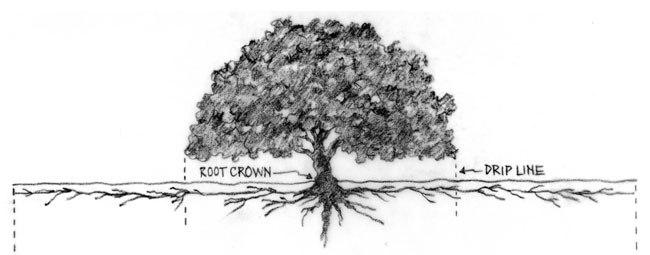 Tree-Drip-Line.jpg