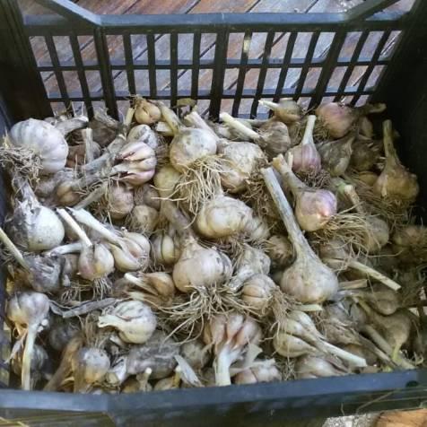 raccolta aglio.jpg
