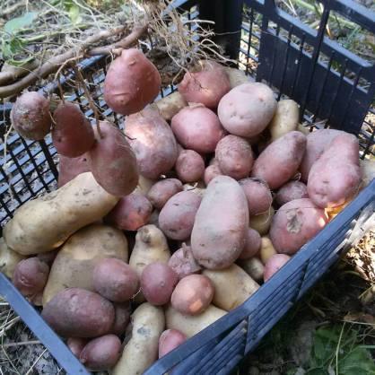 raccolta patate.jpg